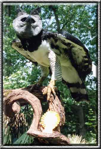 Harpy Eagle Size Comparison Pictures to Pin on Pinterest ...